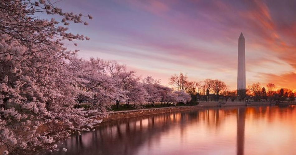 Cherry-Blossoms-792x300